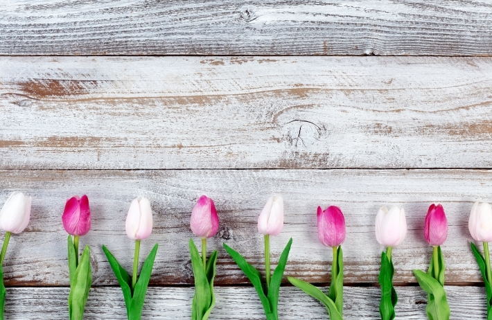 Pink tulips for Easter Holiday on rustic white wooden boards