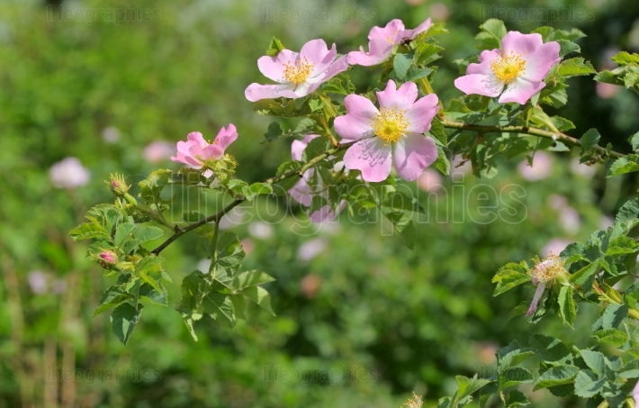 Pink wild rose (Rosa canina) in forest