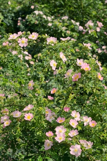 Pink wild rose (Rosa canina) in spring