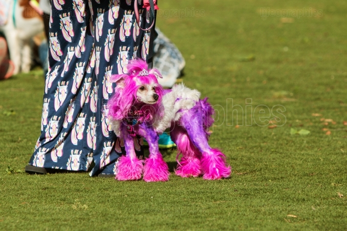 Poodle Wears Tiara And Has Purple Fur At Dog Festival