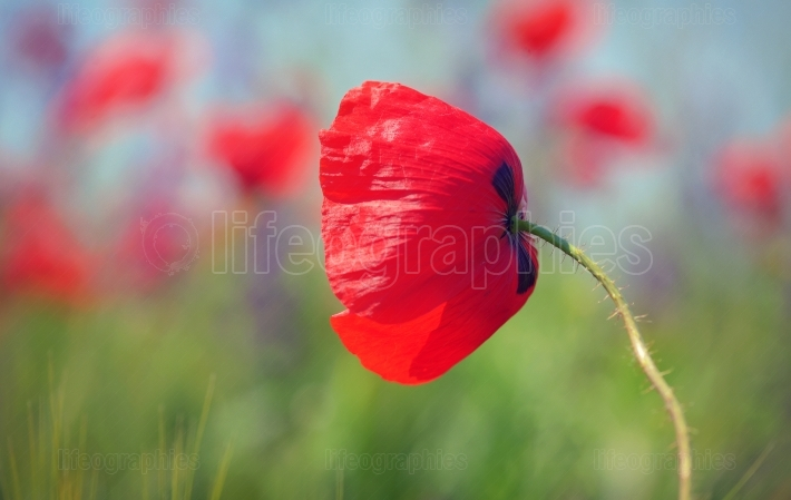 Poppy  flowers on field