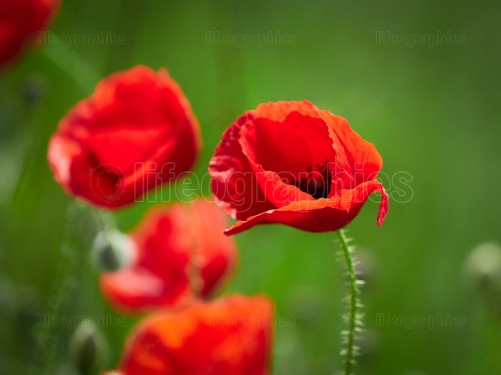 Poppy flowers - summer meadow