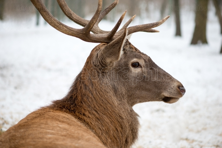 Portrait of a deer Sitting In A Forrest