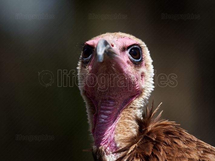 Portrait of Hooded Vulture (Necrosyrtes monachus)