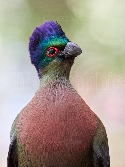 Portrait of Purple crested turaco (Tauraco porphyreolophus)