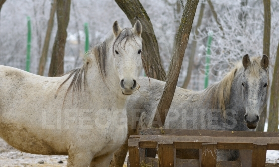 Portrait of white horse at zoo