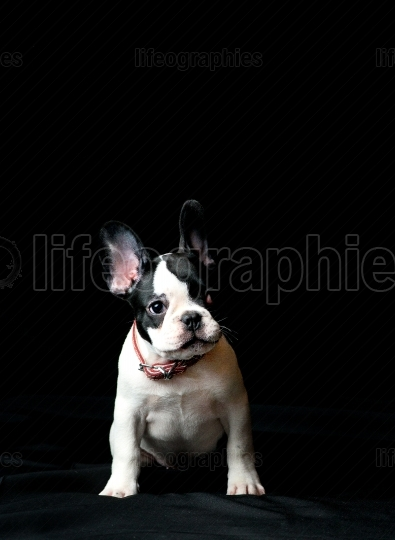 Puppy of french bulldog on black background