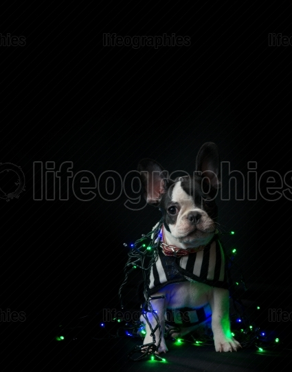 Puppy of french bulldog on black background with christmas lights on it