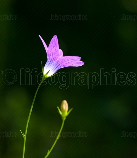 Purple spring flower in the nature