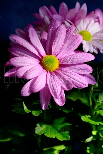 Pyrethrum flowers with dew drops