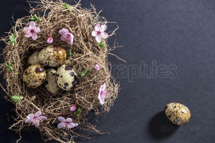 Quail eggs in nest with white spring flowers and buds