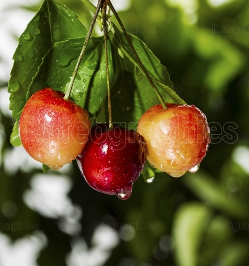 Rainier Cherries hanging from Tree