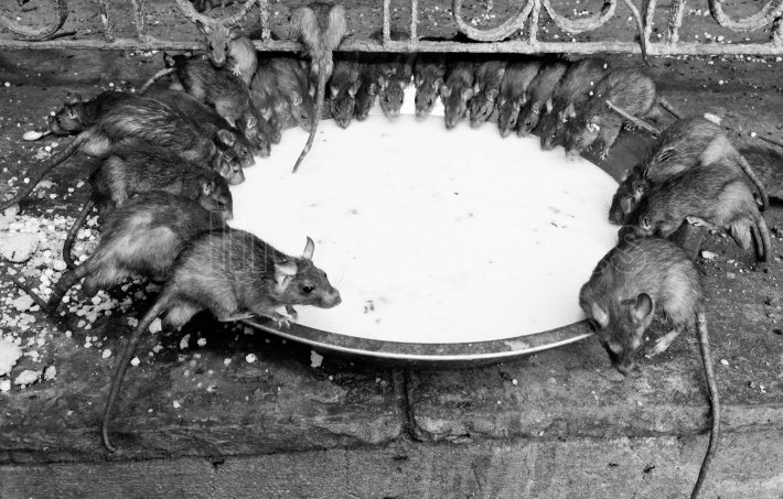 Rat temple, bikaner