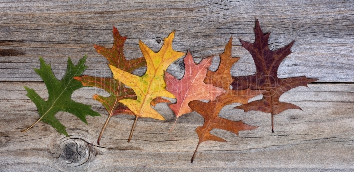 Real autumn leafs changing their colors on rustic wooden boards