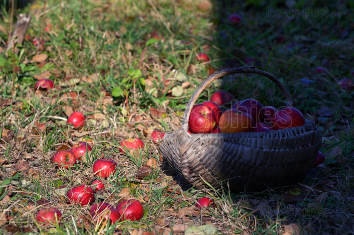 Red Apple In A Wooden Basket