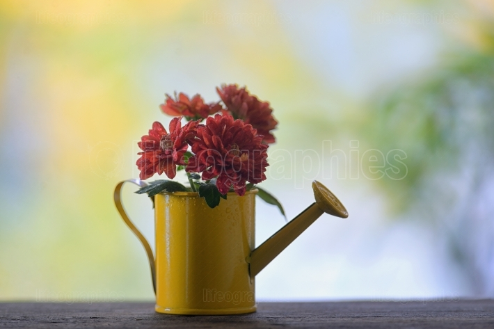 Red chrysanthemums in watering can
