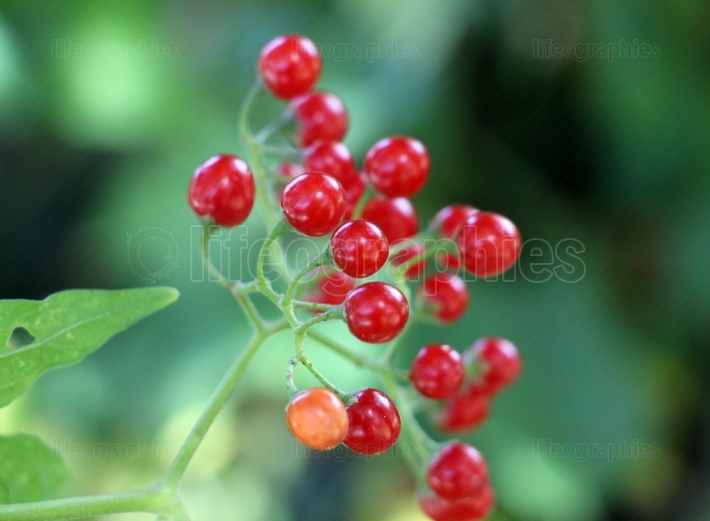 Red currant in a garden