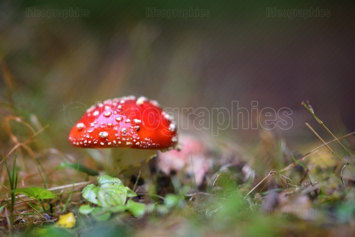 Red mushroom in the woods