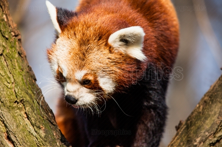 Red panda (ailurus fulgens) sitting in a tree at a zoo