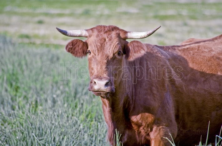 Red retinta cow grazing at Alor Mountains Dehesas