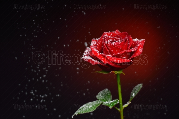 Red rose and snowflakes falling over