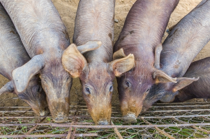 Reddish iberian piglets close to fence