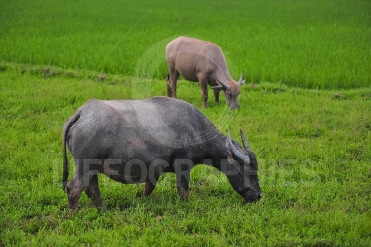 Ricefield with buffalo