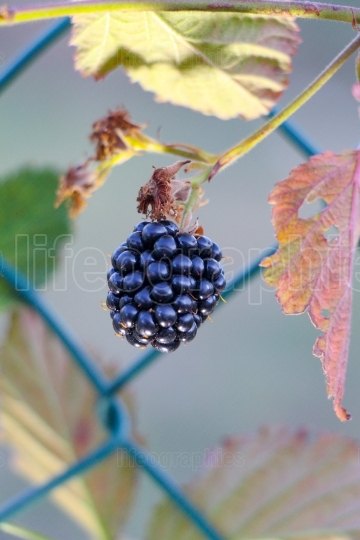 Ripe and unripe blackberries on the bush with selective focus  Bunch of blackberries  Berry background