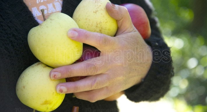 Ripe apples in a woman hand