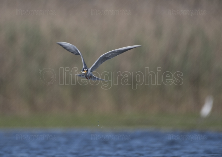 River tern with Fish flying