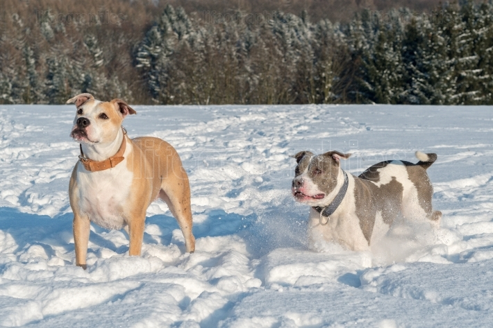 Running staffordshire bull terriers in a snow