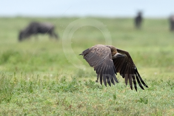 Rüppell's vulture or Rüppell's griffon vulture (Gyps rueppelli