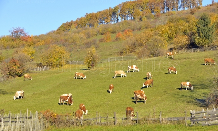 Rural landscape with mottled dairy cows