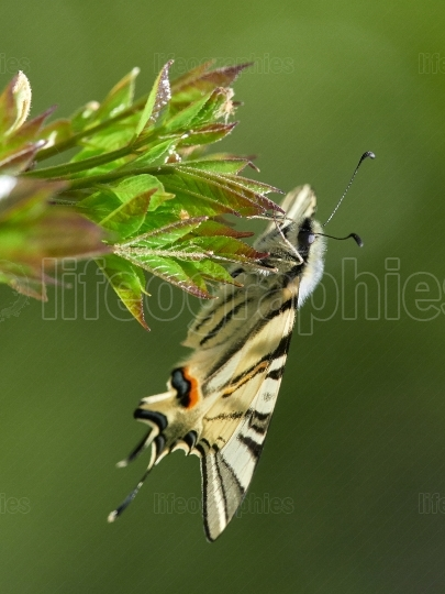 Scarce Swallowtail (Iphiclides podalirius) in natural habitat
