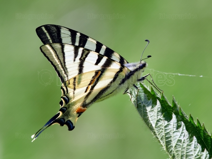 Scarce Swallowtail (Iphiclides podalirius) in natural habitat in