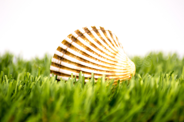 Sea shell on a green lawn