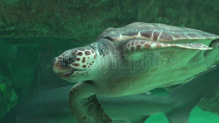 Sea Turtle Swimming In Aquarium