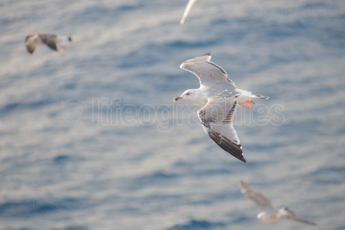 Seagulls flying close to ferry in thassos, greece