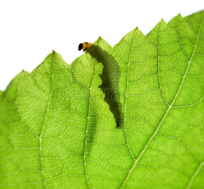 Shadow ,silhouette of a caterpillar on a green leaf