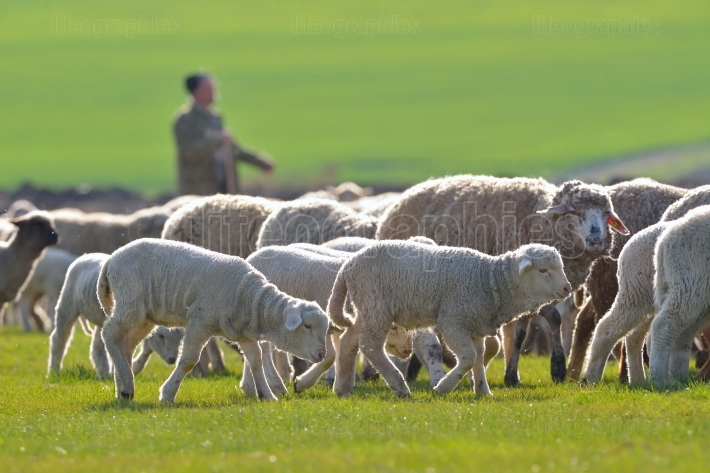 Sheep and lambs
