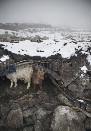 Sheep shelter in bad weather at 5200m, where lies the village