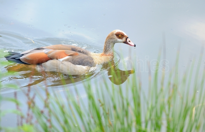 Shelduck on lake