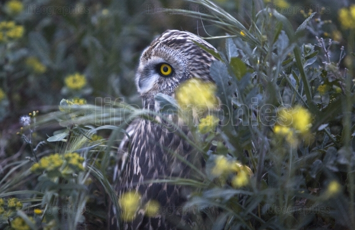 Short eared owl between the flowers