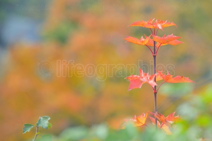 Single maple tree leaves