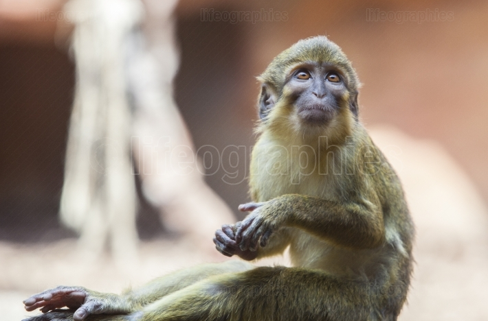 Sitting northern talapoin