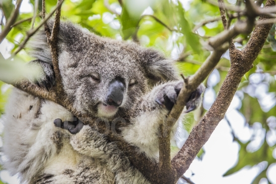 Sleeping koala on eucalyptus tree