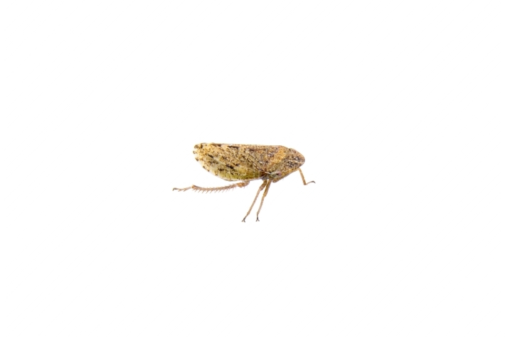 Small brown insect on a white background