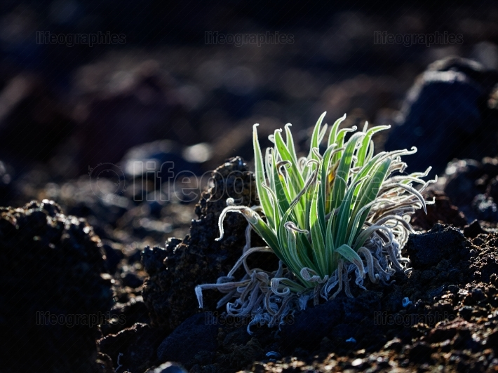 Small plant growing in the caldera of Teide volcano, Tenerife, S