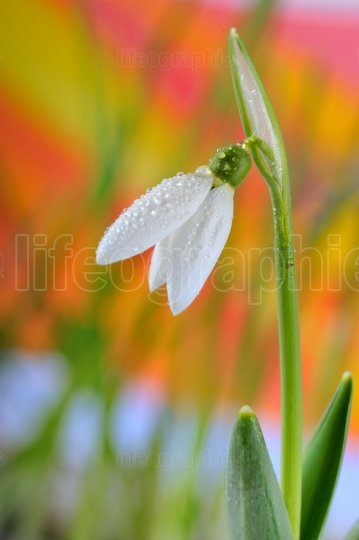 Snowdrops and water drops