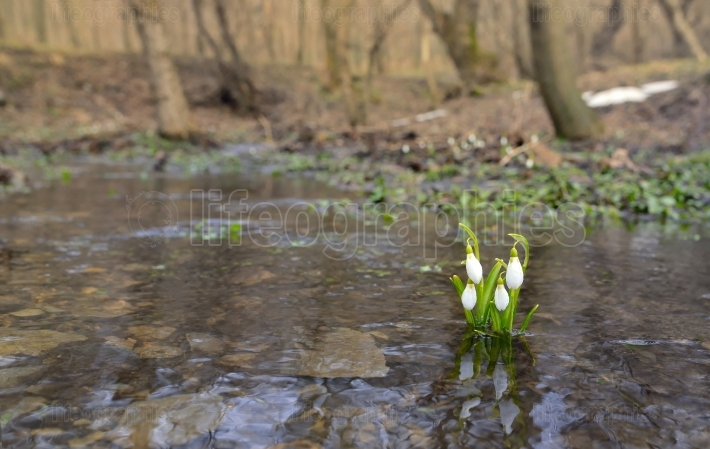 Snowdrops reflection in the water